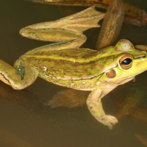 Yellow-spotted Bell Frog